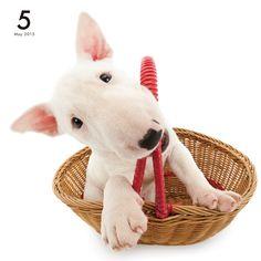 Bull Terrier   DOG   Artlist Collection CALENDAR 2015