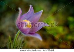 Stock Photo: Spring Flower Pulsatilla Patens growing wild in Finland. One very rare and endangered plant in evening light. Artistic close up image with very shallow depth of field.