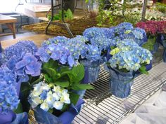 Maybe mini blue hydrangeas for decorating the ruins. Again, if we have all potted plants we don't need many cut flowers for decorations! Potted Plant Centerpieces, Outdoor Table Centerpieces, Flower Centerpieces, Potted Plants, Wedding Centerpieces, Vases, Flower Arrangements, Blue Hydrangea, Hydrangeas