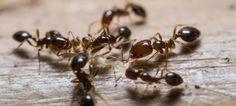 Jak pozbyć się mrówek z domu i ogrodu?