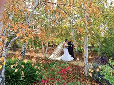 The Bridal walk through the Silver Birch Copse for an Autumn wedding at Mulberry Lodge, Willunga, Fleurieu Peninsula, South Australia