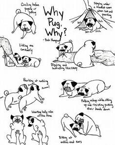 Why pug, why?