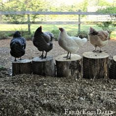 Like a cat cannot resist a box, chickens love to stand on stumps. Great for the chicken run or chicken garden.