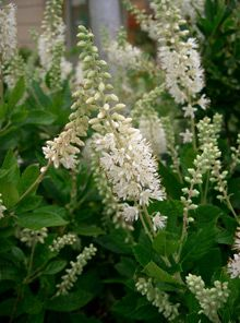 Clethra alnifolia (summersweet) blossoms  Bees, butterflies & hummingbirds love this shrub....& so do I. Tough tidy shrub with a fragrance that fills the garden. Yellow fall foliage.