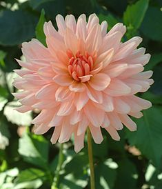 Camano Cloud Dahlia - Corralitos Gardens, but my tuber survived from last year.