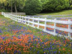 This weatherworn White Fence plays in a field amongst Texas Bluebonnets and Indian Paintbrush!  www.whitefence.com