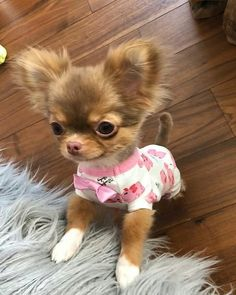 Cute Baby Dogs, Cute Baby Animals, Animals And Pets, Funny Animals, Chihuahua Puppies For Sale, Cute Chihuahua, Cute Puppies, Newborn Puppies, Cute Animal Pictures