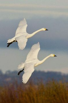 Joy-of-Nature - oh my, what beautiful swans! I don't know what kind they are, but they certainly are beautiful.