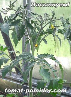 Правильное пасынкование томатов - залог хорошего урожая. Учимся пасынковать, с картинками. Сорта, не требующие пасынкования. Читайте также - формирование куста томатов.