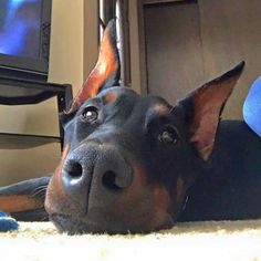 The look of dober love.