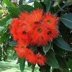 This eucalyptus blooms like a circus. Clusters of fluffy, vibrant red flowers cover the blue-green foliage all summer. Hummingbirds come from miles around and dive bomb each other to compete for their