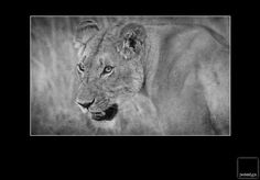 Lion in Kenia Lion, Spaces, Animals, Kenya, Leo, Animales, Animaux, Lions, Animais