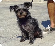 Terrier (Unknown Type, Small)/Yorkie, Yorkshire Terrier Mix Dog for adoption in Lathrop, California - Samson