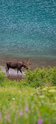 Bull Moose at the Glacier National Park   visitglacierpark.com