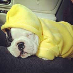 Baby Frenchie Viggo looking soooooooo sweet snuggled up in his cozy yellow hoodie | Cute puppy and dog