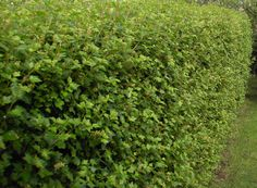 12 - Måbär, häck. Ribes Alpinum