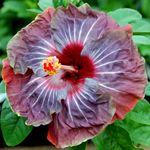Exotic Hibiscus 'Pinot Noir'