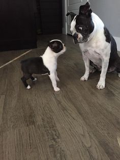 8 Years Old Boston Terrier Looking at the New 2 Months Old Puppy