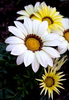 #Flowers | #flower | #Gazania is a genus of flowering plants in the family Asteraceae, native to Southern Africa. They produce large, daisy-like composite flowers in brilliant shades of yellow and orange, over a long period in summer