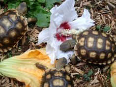 Tortoises/ turtles like to eat hibiscus flowers treats.- Atta Boy! Animal Care #attaboyanimalcare www.attaboyanimalcare.com