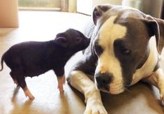 When a Piglet Becomes Best Friends With A Rescued Pit Bull - oh my god! TWO OF MY FAVORITE THINGS