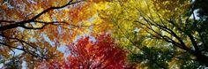 Arbres aux couleurs automnales, vus de dessous Autocollant mural