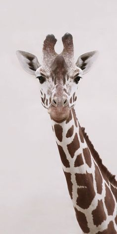 Giraffe Fine Art Photography - Wildlife Art - Modern Wall Art - Black and White Photo - Monochrome Wild Animal Animals And Pets, Baby Animals, Cute Animals, Baby Elephants, Wild Animals, Giraffe Pictures, Animal Pictures, Images Of Giraffes, Beautiful Creatures