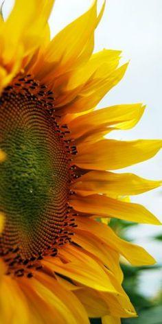 "flowersgardenlove: ""sunflower… Flowers Garden Love """