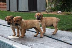 South African Mastiff Puppies!