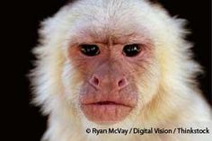 A study concludes that capuchin monkeys refuse food treats from selfish humans, but why is that? http://healthypets.mercola.com/sites/healthypets/archive/2013/07/31/capuchin-monkeys.aspx