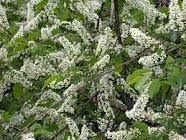 Herbs-Treat and Taste: AMERICAN WILD BLACK CHERRY- HEALTH BENEFITS AND USES OF WILD BLACK CHERRY TREE Black Cherry Health Benefits, Health Benefits Of Cherries, Trees And Shrubs, Flowering Trees, Black Cherry Tree, Florida Trees, Stages Of Labor, Night Flowers, Moon Garden