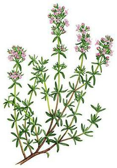 Use thyme in healing or for restfulness.