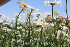 Some kinda beauuutiful daisy South America  #plant #kinda #beauuutiful #daisy #south #america #photography