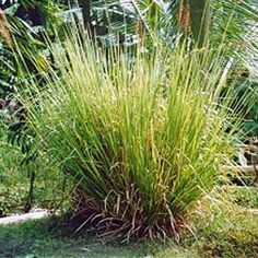 Vetiver, Vetiveria zizanoides, Gramineae. SEDATIVE, support in withdrawal from drug and alcohol abuse, CYTOPHYLACTIC, lymphatic stimulant, balances sebum secretion, rubefacient, TONIC (hepatic and reproductive). A grounding oil.