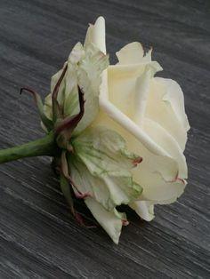 Rose by Robert Haynes