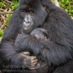 The new mountain gorilla babies born in Volcanoes National Park in the last year will be given their names on Friday in the Kwita Izina ceremony in Rwanda!