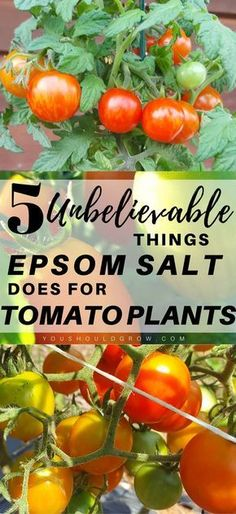 There are several 5 common gardening myths about using Epsom salt for tomato pla. - There are several 5 common gardening myths about using Epsom salt for tomato plants.