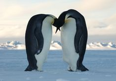Emperor Penguins Patagonia Argentina