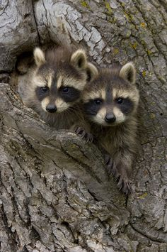Young Racoons by Carol Gregory