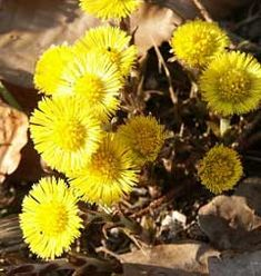 Tussilago farfara Coltsfoot (perennial, raw in salad, garnish soup or cooked like spinach, dried leaves - herbal tea, salt substitue)