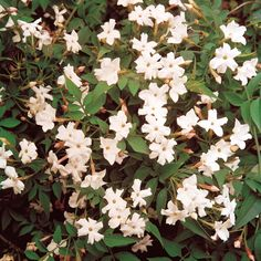 Common or Poet's Jasmine (Jasminum officinale) - climber for pergola, beautiful scent, evergreen, blossoms in summer and fall