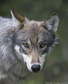 Grey Wolf Photo by David Turko — National Geographic Your Shot Wolf Face, Wolf Photos, National Geographic Photos, Wildlife Photography, Mother Nature, Amazing Photography, Husky, National Parks, Shots