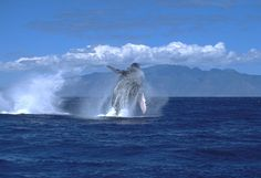 Breaching Humpback whale off West Maui - photo by Lahaina photograher, Randy Miller