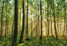 Forest in the morning Mini Wall Mural Wallpaper Mural - bij AllPosters.be