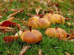 Dobrou chuť: Medové dýně Pumpkin, Outdoor, Outdoors, Squash, Squashes, Pumpkins, Outdoor Games, The Great Outdoors, Gourd