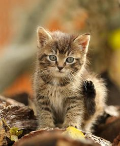 Cats and Stuff I Love Cats, Crazy Cats, Cool Cats, Animals And Pets, Baby Animals, Cute Animals, Kittens Cutest, Cats And Kittens, Animal Gato