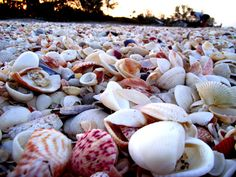 The Essential Beachcomber - shell pile on Manasota Key 3.25.13