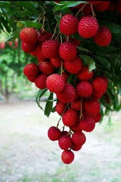Anyone who eats the lychee fruit immediately falls in love with it. Fruit Plants, Fruit Garden, Fruit Trees, Garden Tomatoes, Growing Tomatoes, Fruit And Veg, Fruits And Vegetables, Fresh Fruit, Beautiful Fruits