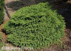 kulka koło tarasu  świerk pospolity 'Gregoryana' - Picea abies 'Gregoryana'