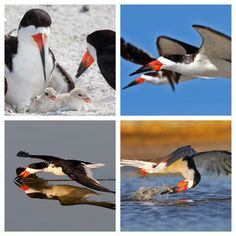 The black skimmer is a tern-like seabird, one of three very similar birds species in the skimmer family. It breeds in North and South America. Wikipedia Scientific name: Rynchops niger Higher classification: Rynchops Rank: Species